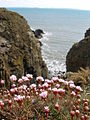 Sea thrift on the top of rocky cliffs - geograph.org.uk - 779494.jpg