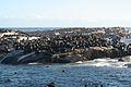 Seals at Hout Bay (6649526699).jpg
