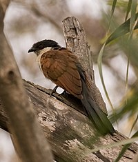 Senegal Coucal.jpg