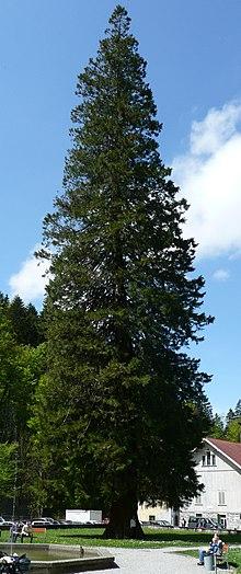 Sequioadendron giganteum, Gütle.jpg