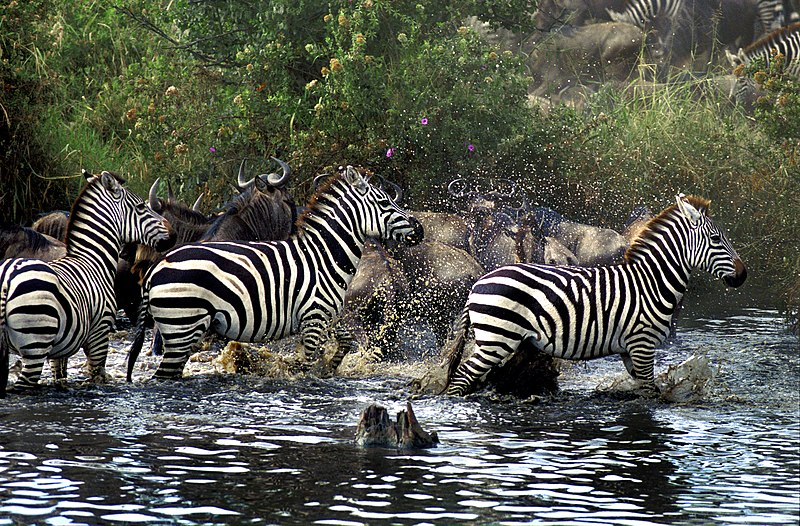 File:Serengeti migration JF3.jpg