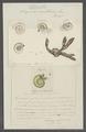 Serpula nautiloides - - Print - Iconographia Zoologica - Special Collections University of Amsterdam - UBAINV0274 102 20 0026.tif