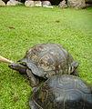 Seychelles giant tortoise.jpg