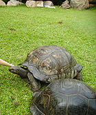 Giant Tortoise (Dipsochelys hololissa)