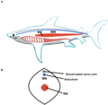 Shark Red and White Locomotor Muscles.png