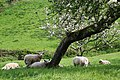 Sheep in the Orchard - geograph.org.uk - 168604.jpg