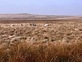 Sheep on Otterburn Ranges - geograph.org.uk - 1264079.jpg