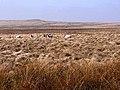 Sheep on Otterburn Ranges - geograph.org.uk - 1264079.jpg