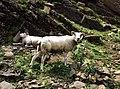 Sheeps in Switzerland 2.jpg