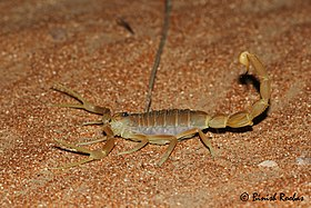 Shield-tailed Scorpion.jpg