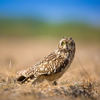 Short-eared owl - Individual at the Little Rann of Kutch