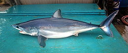 On this nautical miles makoshortfin mako maldives include...