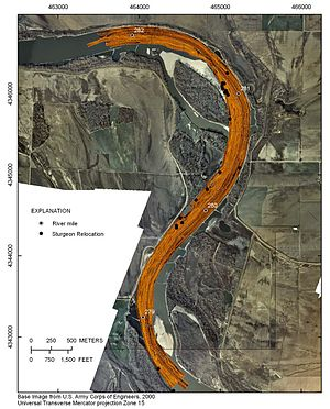 GIS and aquatic science - USGS sidescan radar image over base image from Army Corps of Engineers, indicating sturgeon location and river mile.