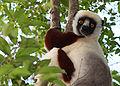 Sifaka in Madagascar.jpg