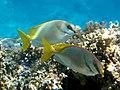 Siganus doliatus Fiji.jpg