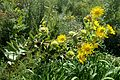 Silphium integrifolium kz3.jpg