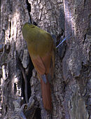 Sittasomus griseicapillus -on tree-5-2c.jpg