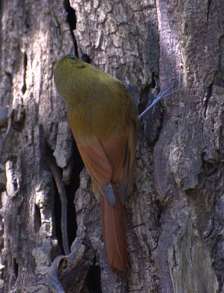 Ficheiro:Sittasomus griseicapillus -on tree-5-2c.jpg