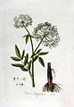 Sium latifolium — Flora Batava — Volume v3.jpg