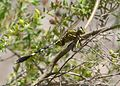 Slender Skimmer. Orthetrum sabina. Libellulidae. 3 - Flickr - gailhampshire.jpg