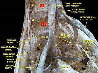 Obturator nerve - Image: Slide 1erer