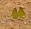 Small Grass Yellow (Eurema brigitta) mud-puddling in Talakona forest, AP W IMG 8709.jpg