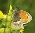 Small Heath - Coenonympha pamphilus (27653064821).jpg