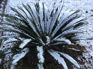 Cycas revoluta - Cycas revoluta also called Kangi Palm covered with snow.