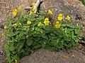 Snowmelt monkeyflower, Erythranthe tilingii (15764776457).jpg