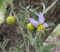 Solanum elaeagnifolium (8691859122).jpg