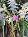 Solanum pyracanthos 2.jpg