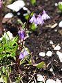 Soldanella alpina (1).JPG