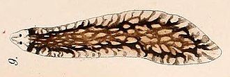 Spiralia - Image: Sorocelis reticulosa