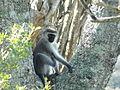 South African Monkey.JPG