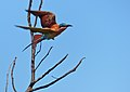 Southern Carmine Bee-eater (Merops nubicoides) (13850047994).jpg