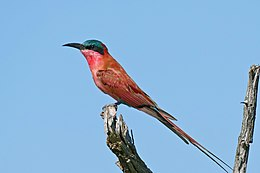 Southern Carmine Bee-eater (Merops nubicoides) (16732824032).jpg