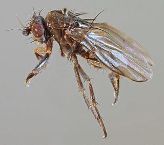 <i>Spelobia palmata</i> species of fly