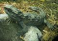 Sphenodon punctatus (1).jpg