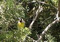 Spinus lawrencei, Carrizo Plain 1.jpg