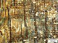Spirostachys a. Radial (Crystals polar).jpg