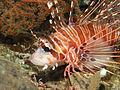 Spotfin Lionfish, Bunaken Island.jpg