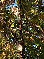 Spotted Owlet - Athene brama - P1050303.jpg