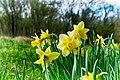 Spring Daffodil (40452629523).jpg