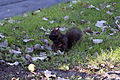 Squirell at Niagara Falls ON 02.jpg