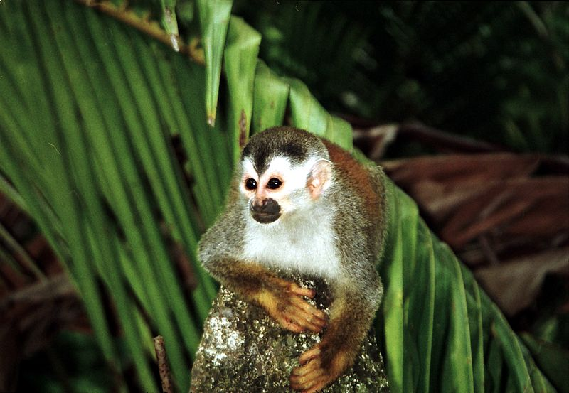 File:Squirrel monkey1.jpg