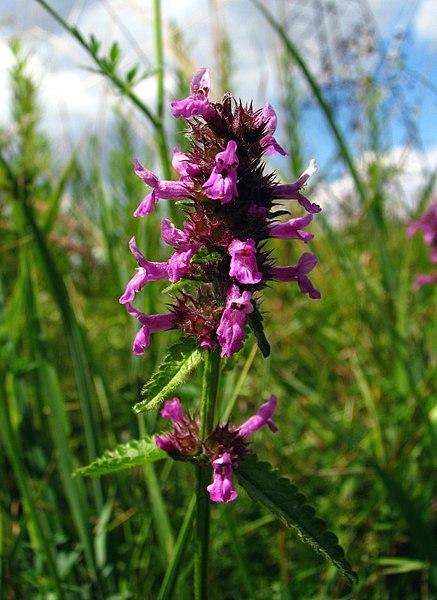 File:Stachys officinalis 01.jpg
