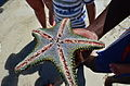 Starfish in Diani.jpg