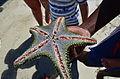 Starfish in Diani.jpg