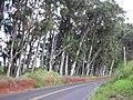 Starr-031002-0025-Eucalyptus globulus-habit-Piiholo-Maui (24305203319).jpg