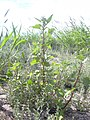 Starr-040217-0087-Chenopodium murale-habit-Keanakeiki-Kahoolawe (24331132009).jpg